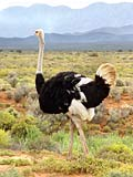 Ostrich  - pictures