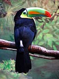 Toucans - nature photography