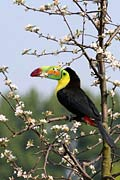 Keel-billed Toucan - Toucans - photo stock