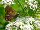 Black Hairstreak - nature photography