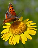 nature pictures - Small Copper