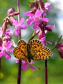 Small Pearl-bordered Fritillary - picture