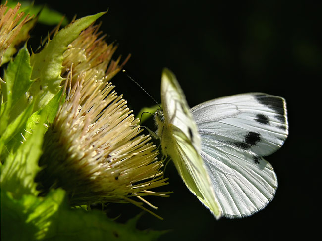 Large White - photo gallery