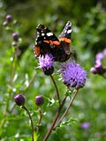 Red Admiral - image gallery