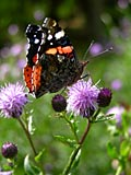 nature pictures - Red Admiral