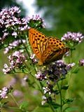 Silver-washed Fritillary nature pictures