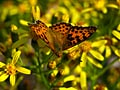 Pallas's Fritillary - photo stock