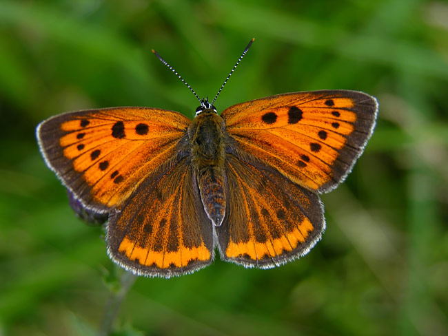 Large Copper - nature photography