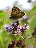 images - Sooty Copper