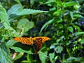 Silver-washed Fritillary - Nature
