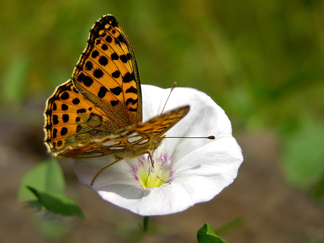pictures - Pallas's Fritillary
