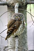 Eurasian Pygmy-owl - photography