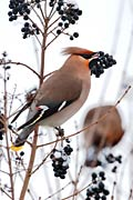 Bohemian Waxwing - nature photography