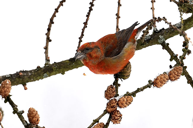 Common Crossbill - photos, Loxia curvirostra