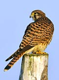 Common Kestrel - photo gallery