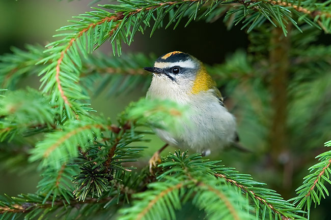 Firecrest - photos, Regulus ignicapilla
