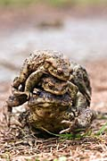 Common Toad - photo gallery