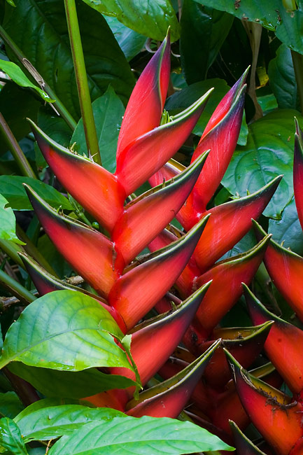Heliconia  - pictures