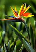 Bird of paradise flower - photos, Strelitzia reginae