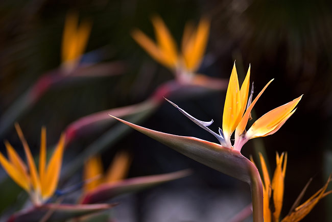 Bird of paradise flower - nature photography