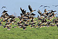 Greylag Goose - photo gallery