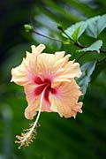 nature pictures - Hibiscus