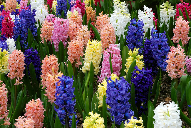 Hyacinth   - pictures