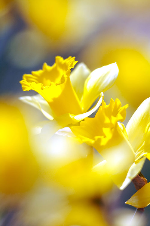 Daffodil - photos, Narcissus
