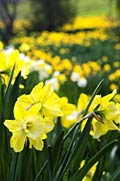 Jonquil   - pictures