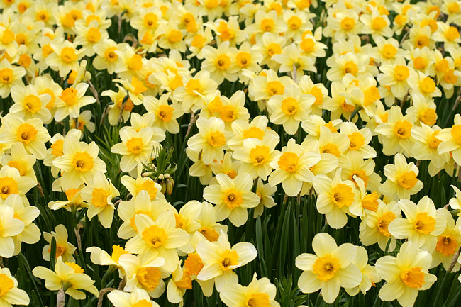 Narcissi - nature photography