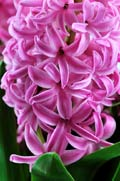 Hyacinth  - photography
