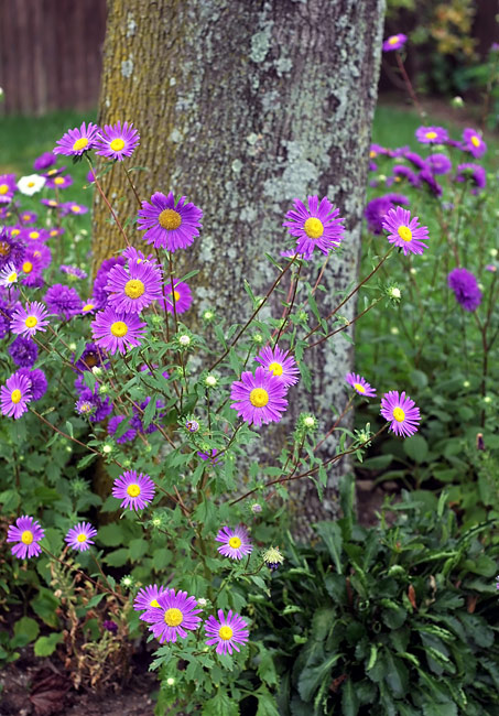 Aster - photography