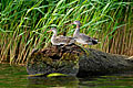 Gadwall  - pictures