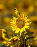 Sunflower - photos, Helianthus annuus