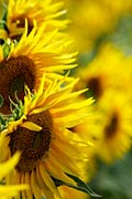 Sunflower  - pictures