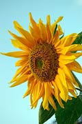 Photos - Sunflower