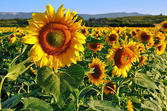 Sunflower - photography
