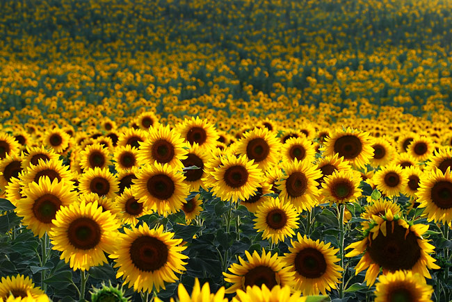 Sunflower - image gallery