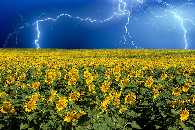Sunflowers - picture