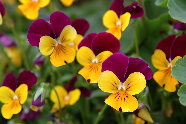 Pansy - nature photography