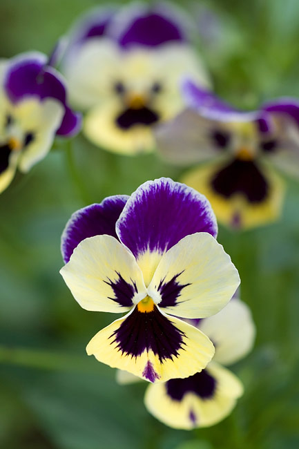 Pansy - photo gallery