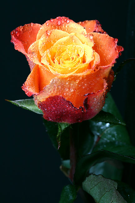 images - Roses