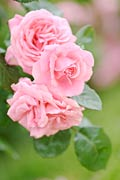 Rose  - vente des photos