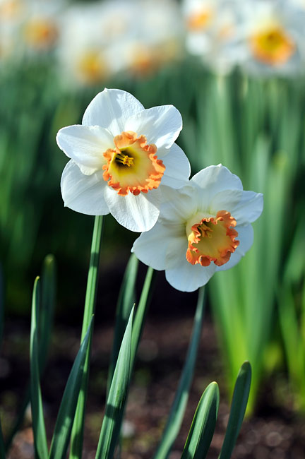 Narcissus - photography