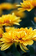 Chrysanthemums  - pictures