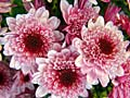 Chrysanthemums - nature photography