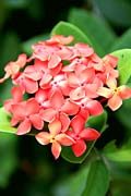 Ixora - photos, Ixora coccinea