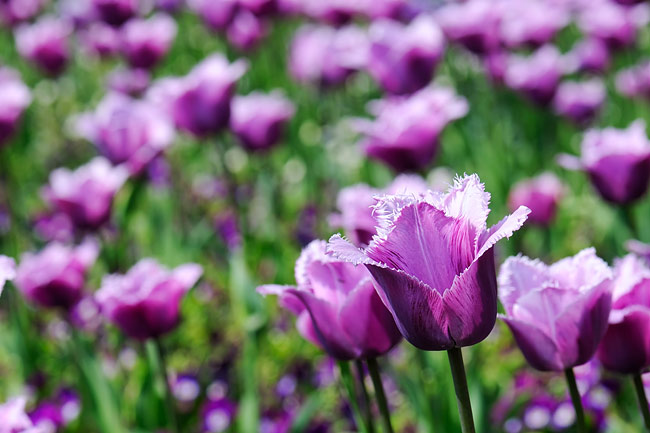Tulips - nature photography