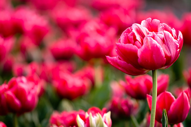 Tulips - image gallery