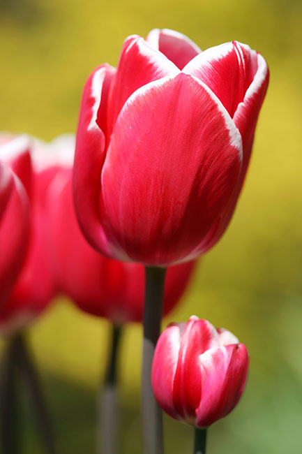 Tulips - Species, photos